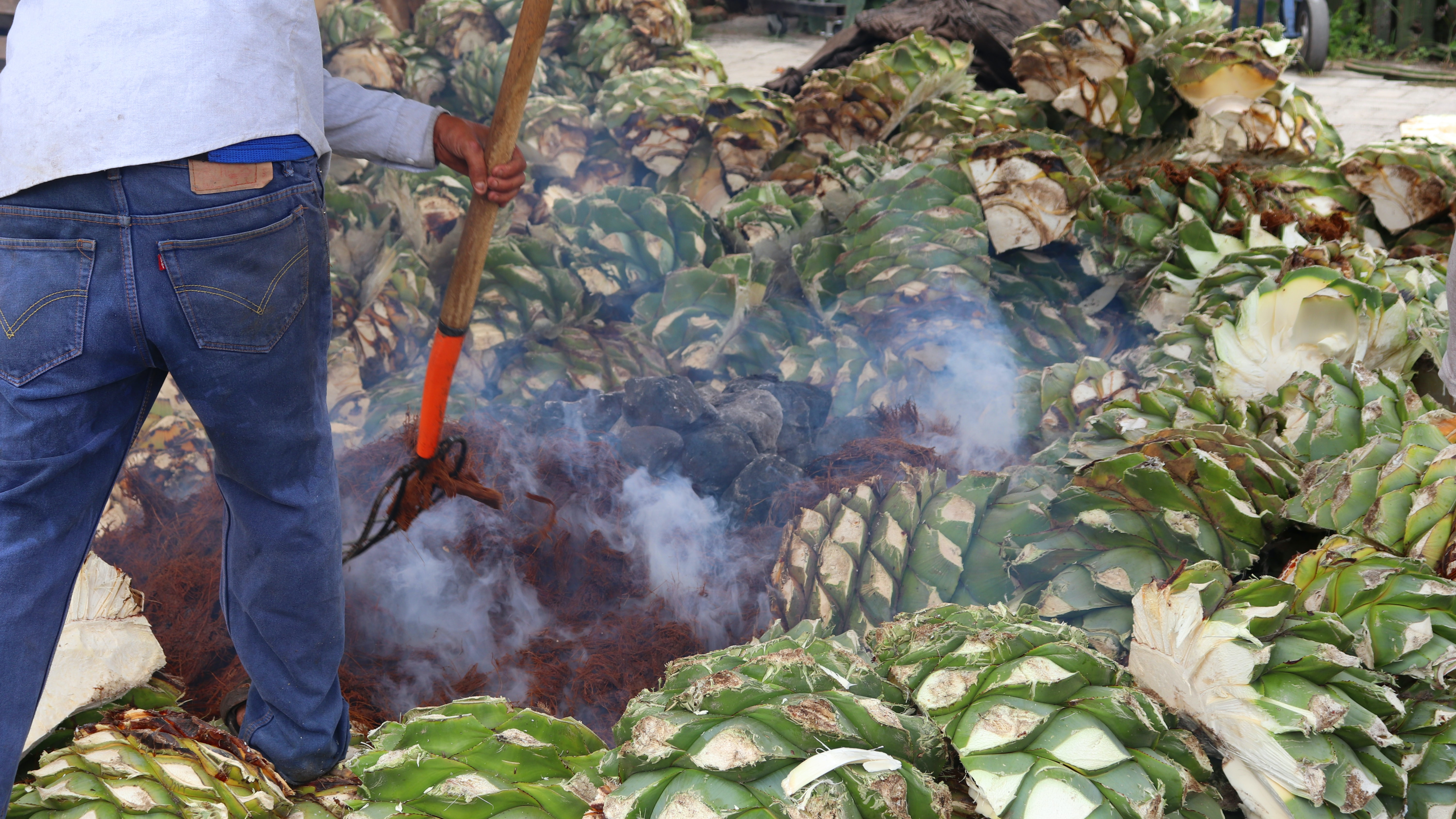 agave harvest and cook